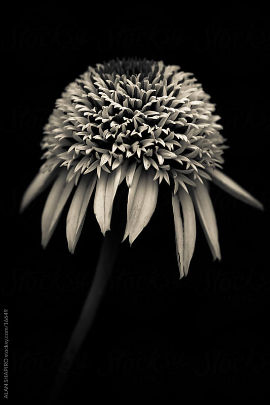 Echinacea in monochrome by ALAN SHAPIRO for Stocksy United