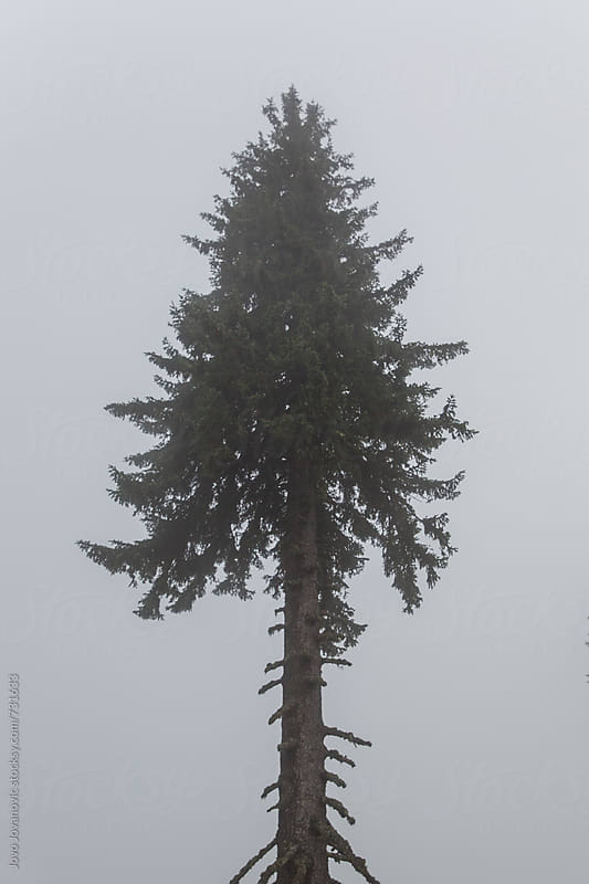 Single tree standing alone in morning fog by Jovo Jovanovic for Stocksy United