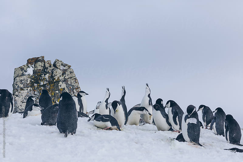 Chinstrap penguins walking in snow in Antarticta by unite images for Stocksy United