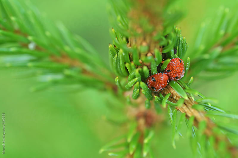 Ladybirds hiding in a Christmas tree by Marcel for Stocksy United