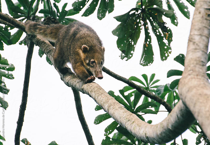 Coati on a tree branch (Nasua narica) by Alejandro Moreno de Carlos for Stocksy United
