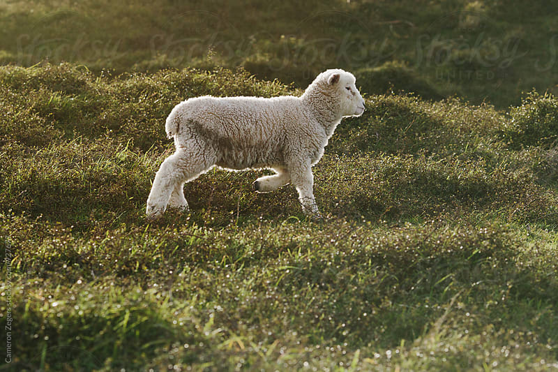 lamb walking in pasture by Cameron Zegers for Stocksy United
