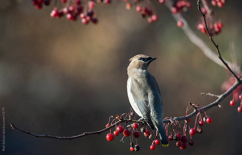 Cedar Waxwing Perched on Crabapple Tree by Rob Sylvan for Stocksy United