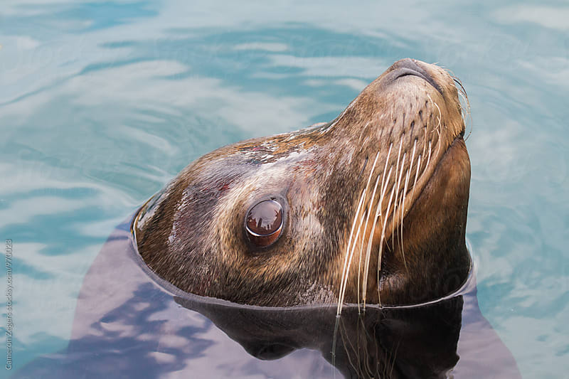 sea lion close-up by Cameron Zegers for Stocksy United