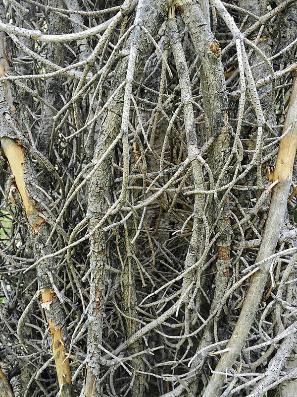 Close up of white pine tree branches by Paul Edmondson for Stocksy United