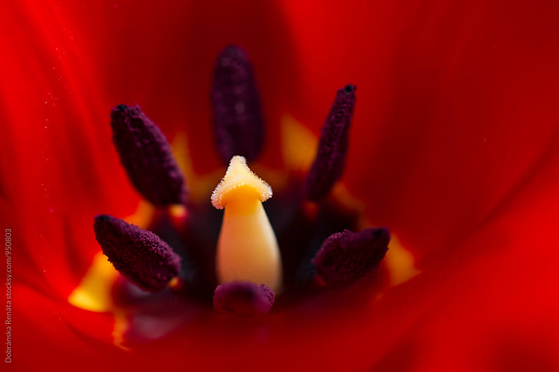 Red Tulip, closeup by Dobránska Renáta for Stocksy United