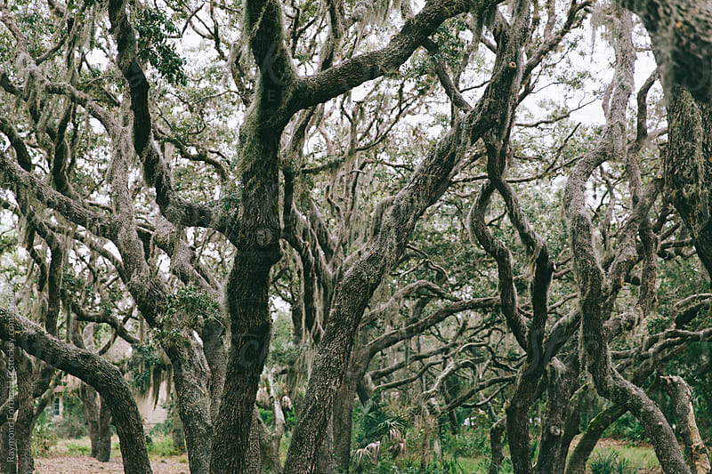 Oak Forest With Spanish Moss by Raymond Forbes LLC for Stocksy United