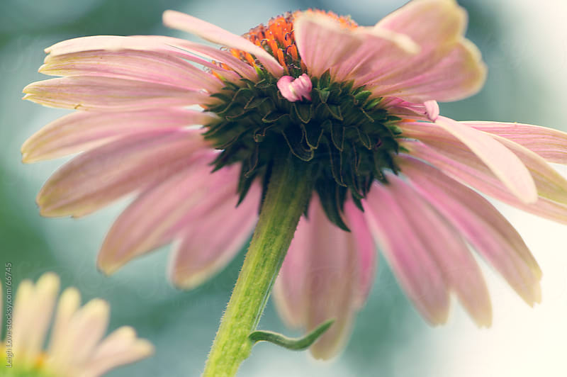 Pink and Orange Coneflower by Leigh Love for Stocksy United