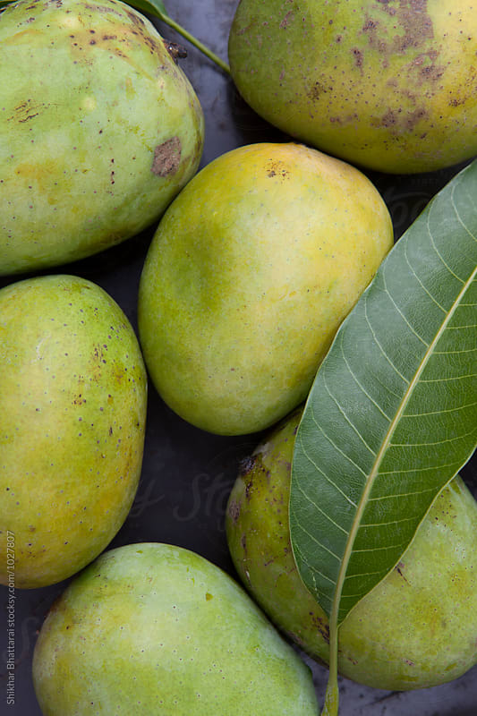 Fresh green mangoes from the field. by Shikhar Bhattarai for Stocksy United