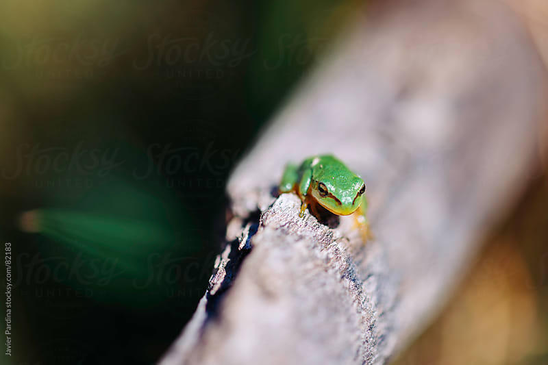 small green frog on a log by Javier Pardina for Stocksy United