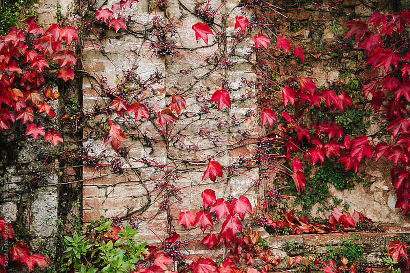 red-leaf vine on a castle wall in the autumn by Sarah Lalone for Stocksy United
