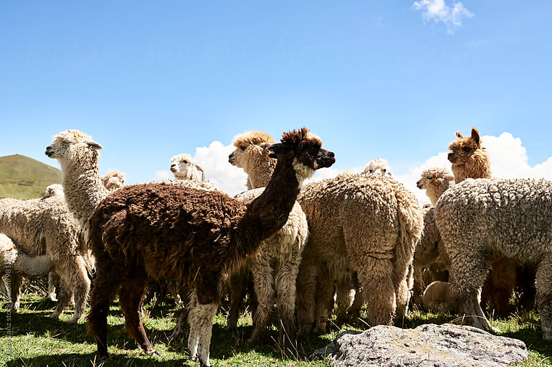 lamas grazing on meadow by Trent Lanz for Stocksy United