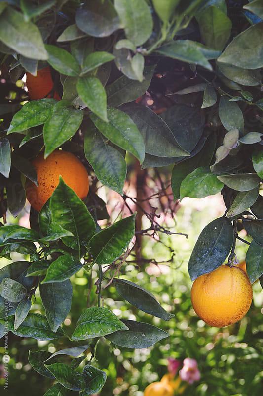 Orange tree by Nate & Amanda Howard for Stocksy United