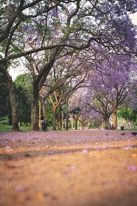 Jacaranda Trees by Jayme Burrows for Stocksy United