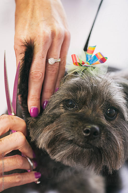 Groomer: Terrier Gets Finish Trim Around Face by Sean Locke for Stocksy United