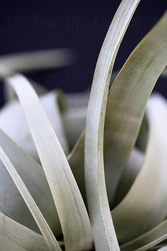 Close Up Of Silvery Air Plant Leaves by ALICIA BOCK for Stocksy United
