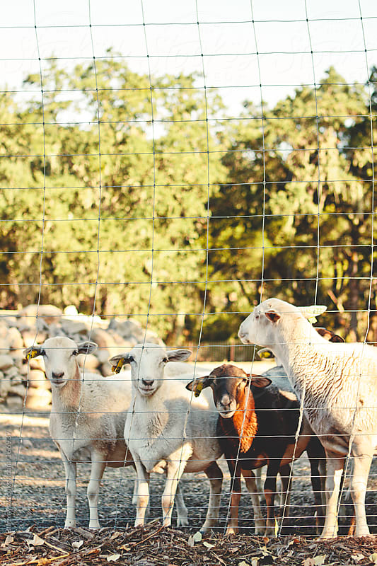 Several Young Sheep by Jayme Burrows for Stocksy United