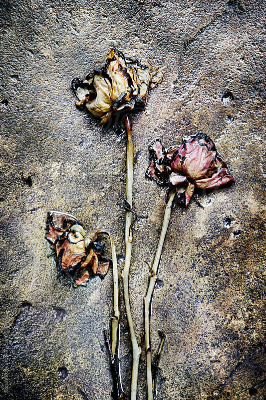 Three decaying roses on stone background by James Ross for Stocksy United