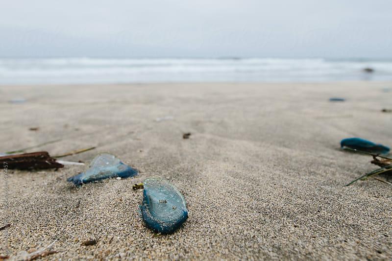 Vellela or sea raft or purple sail jellyfish on a beach by Mihael Blikshteyn for Stocksy United