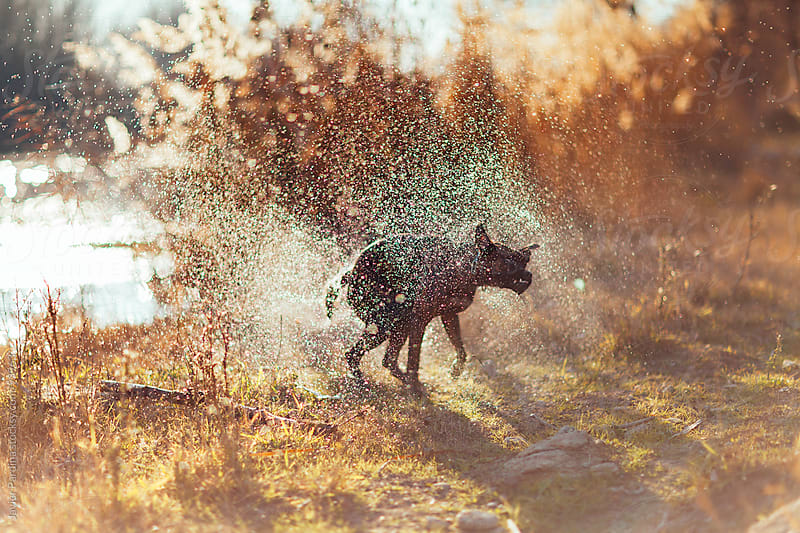 My dog shaking of the water of her hair by Javier Pardina for Stocksy United