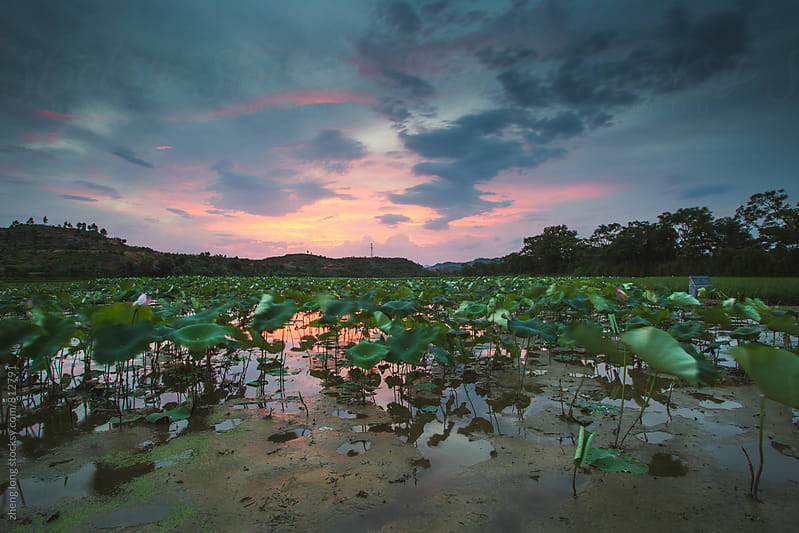 Lotus field in Chinese countryside by zheng long for Stocksy United
