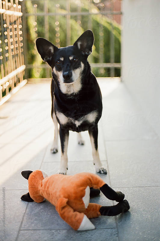 Little dog wants to play and brings me fox shaped toy by Laura Stolfi for Stocksy United