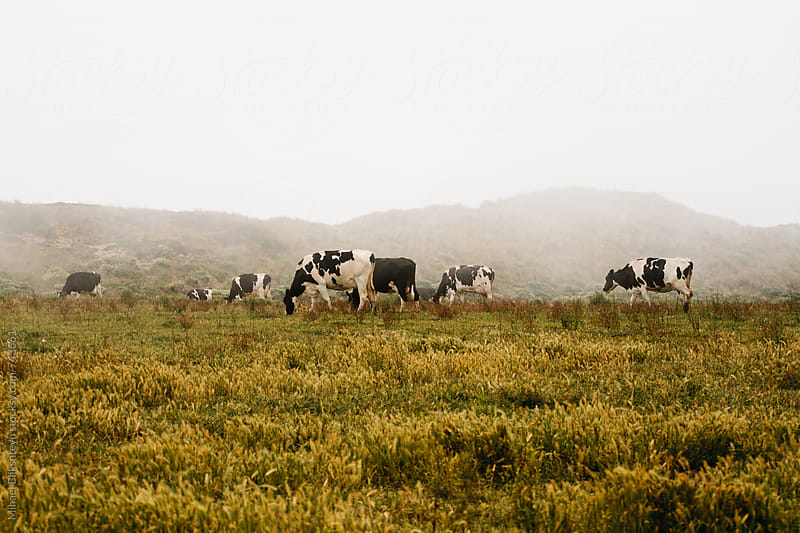 Free-range milk cows grazing on a pasture by Mihael Blikshteyn for Stocksy United