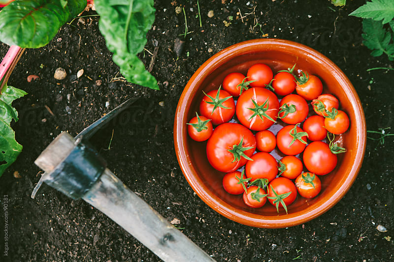 A bowl of tomatoes next to garden tools and plants by kkgas for Stocksy United