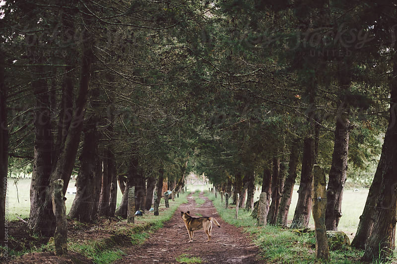 Dog standing in the Middle of a Wooded Lane by Oscar Lopez for Stocksy United