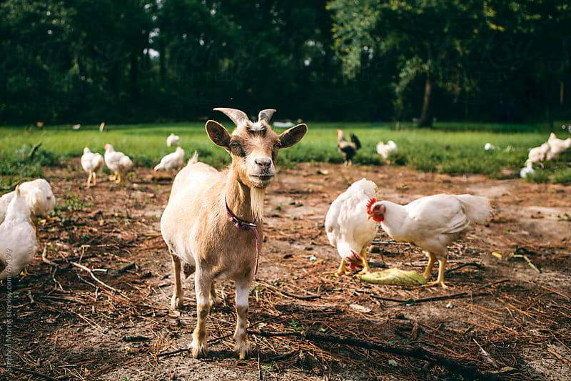 Goat and Chickens in Barnyard by Stephen Morris for Stocksy United