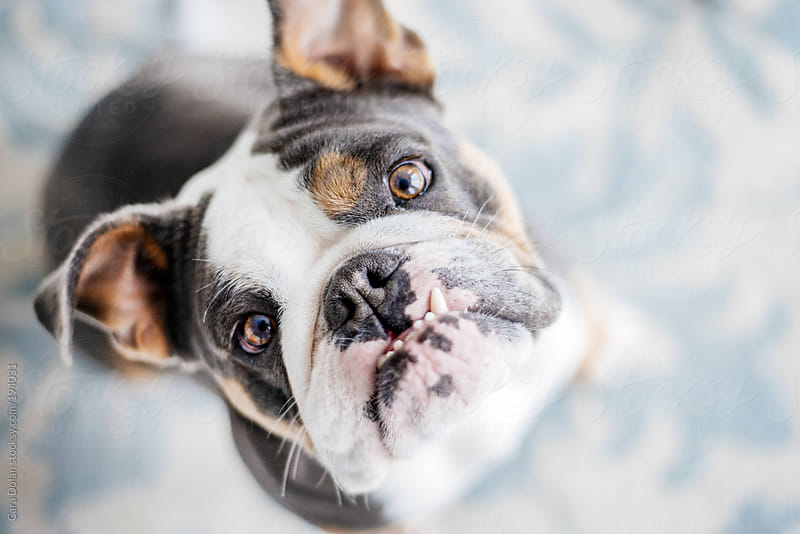 English bulldog looks up with eager eyes by Cara Dolan for Stocksy United