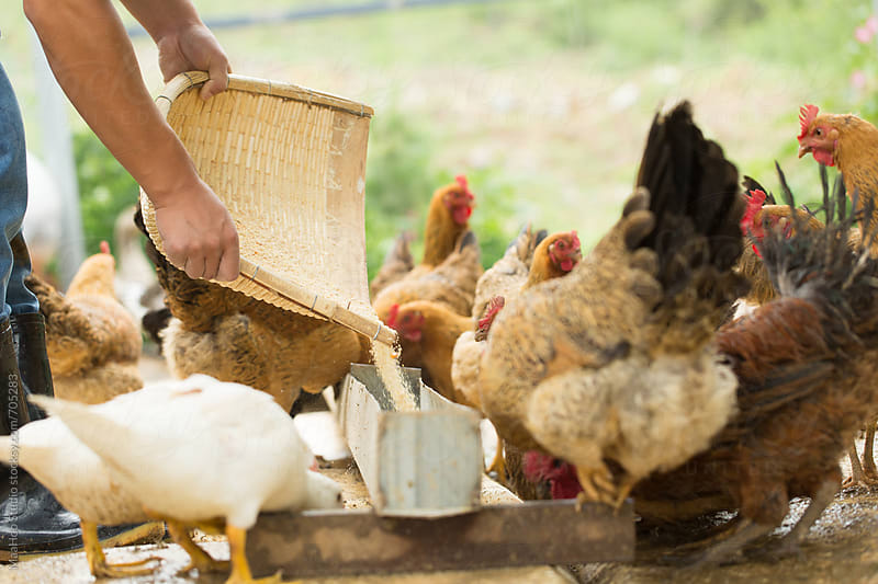 Farm worker feeding chicken at poultry farm by Maa Hoo for Stocksy United
