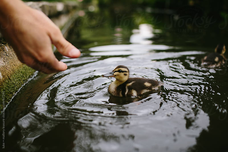Cute duckling by luke + mallory leasure for Stocksy United