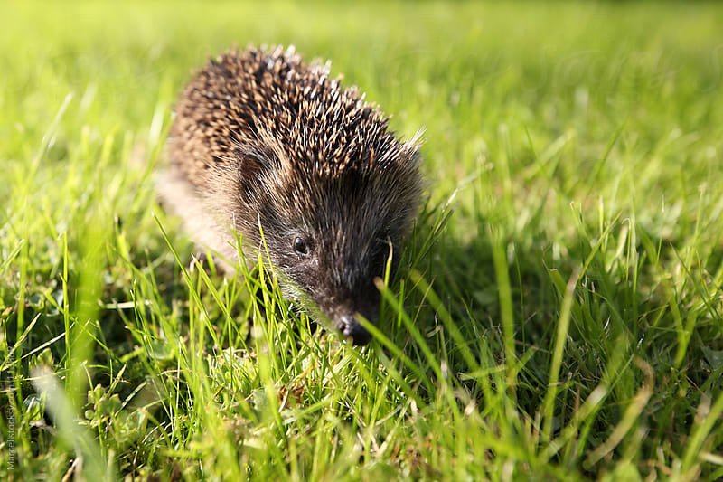 Young hedgehog on the lawn by Marcel for Stocksy United