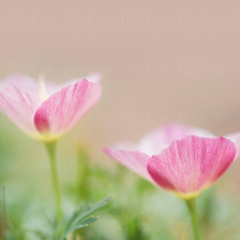 Closeup shot of two light pink flowers by Lea Csontos for Stocksy United