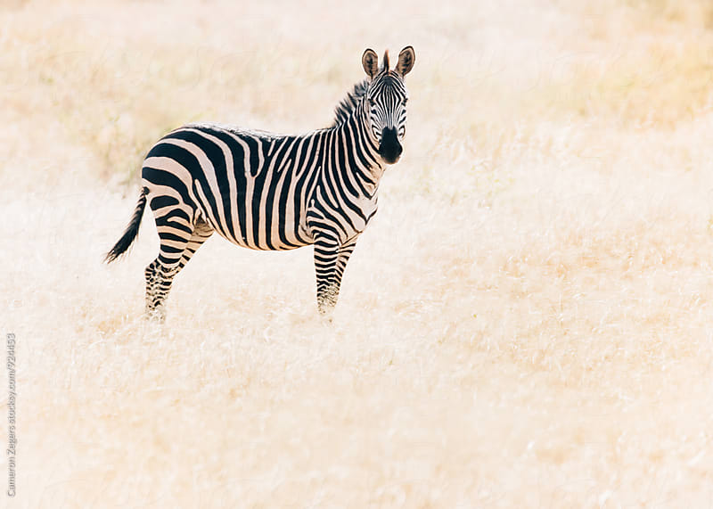 zebra standing in grassland in Tanzania by Cameron Zegers for Stocksy United