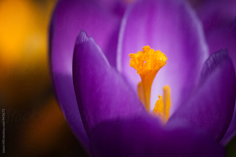 Purple Spring Crocus by Jason Hill for Stocksy United