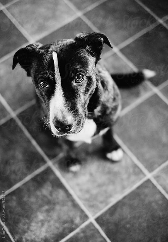 Boxador (Labrador Boxer cross) sitting on a tiled floor. UK. by Liam Grant for Stocksy United