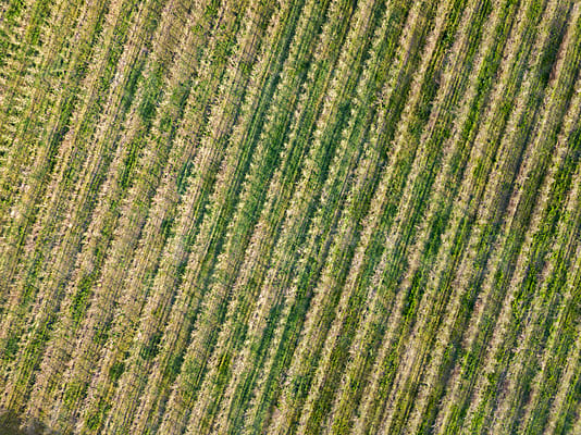 Aerial view from the drone young trees in the fields for