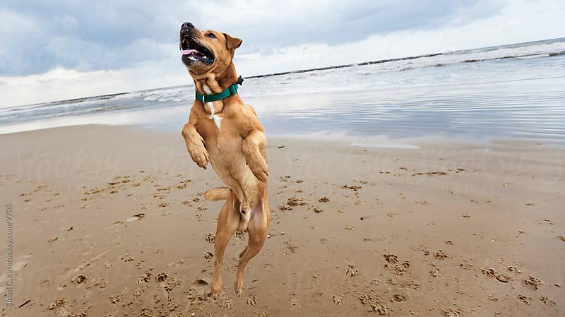 Jumping Mid-Air Winter Beach Dog by Eldad Carin for Stocksy United