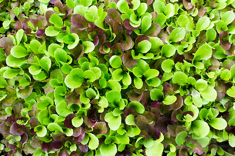 Red and green lettuce seedlings ready for planting by Holly Clark for Stocksy United