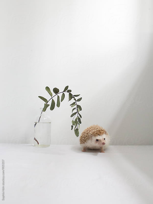 Hedgehog, eucalyptus and light by Sophia Hsin for Stocksy United