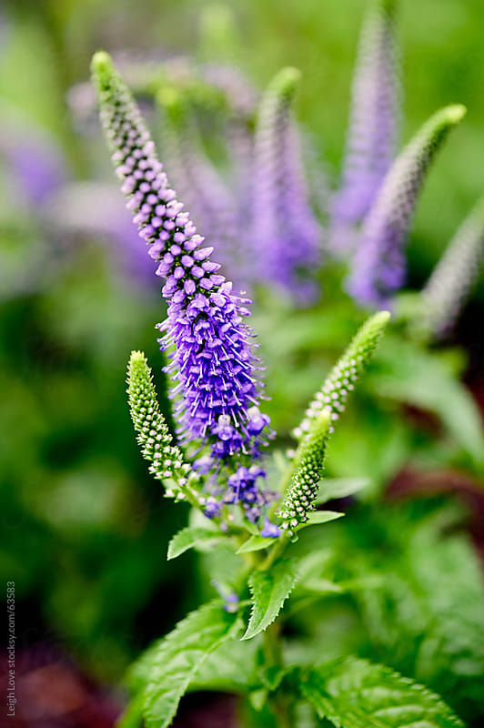 Purple Veronica Speedwell by Leigh Love for Stocksy United