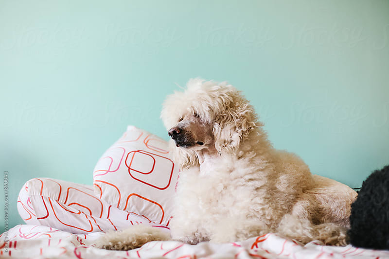 White royal poodle by Marija Kovac for Stocksy United