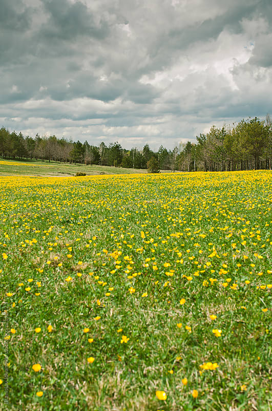 Yellow flower meadow by Brkati Krokodil for Stocksy United