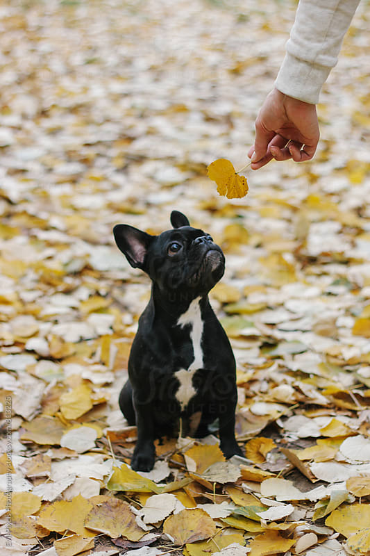 Baby french bulldog looking at camera by Evil Pixels  Photography for Stocksy United