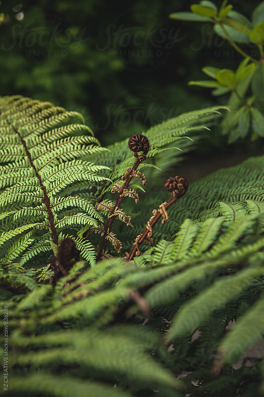 A spring fern begins to unfurl. by Robert Zaleski for Stocksy United