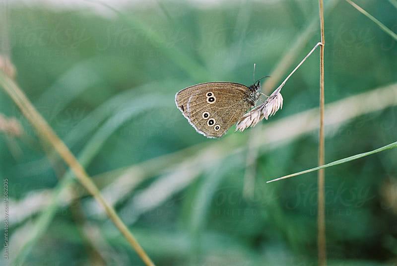 Ringlet Butterfly. Norfolk, UK. by Liam Grant for Stocksy United