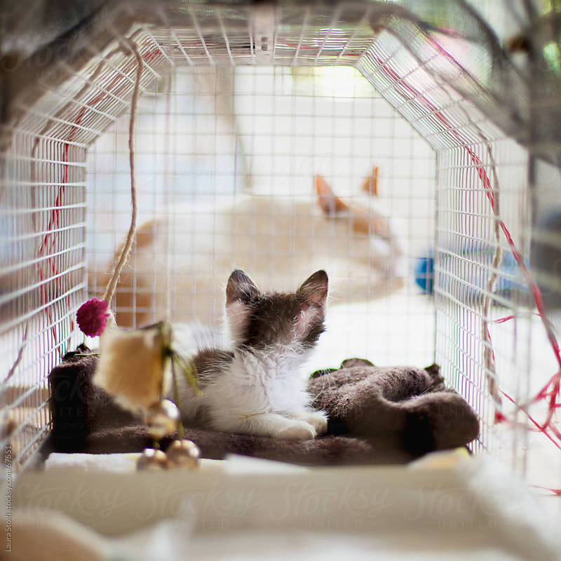 Recovering kitten in cage looking at an adult cat out of the cage by Laura Stolfi for Stocksy United