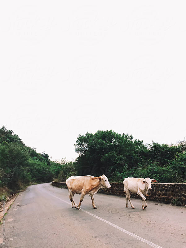 Two cows walk up a paved hill by Holly Clark for Stocksy United
